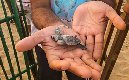 Sea turtle conservation holidays are just one of hundreds of choices for volunteerism trips!